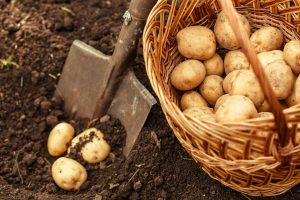 Organic sprout inhibitors - Potatoes caught in red tape - Organic Federation of Canada